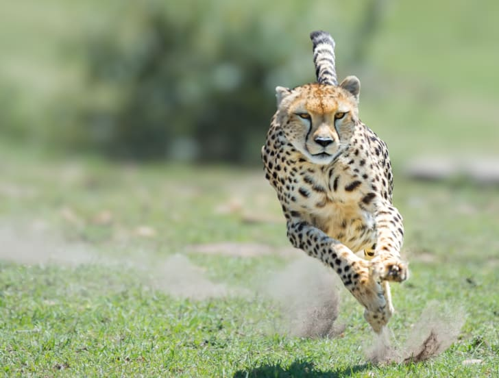 A cheetah running.