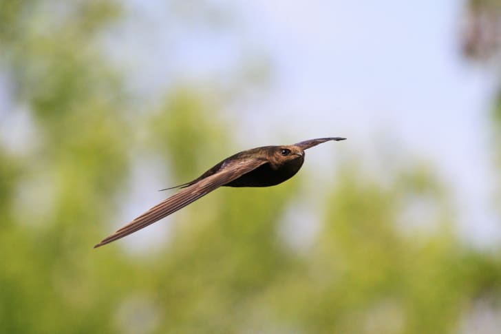 A common swift flying.