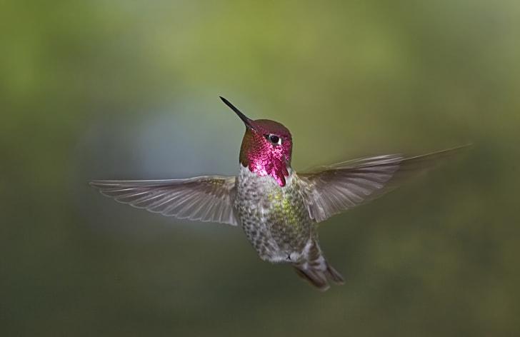 An Anna's hummingbird in flight.