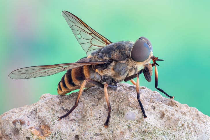 A horse fly sitting on a rock.