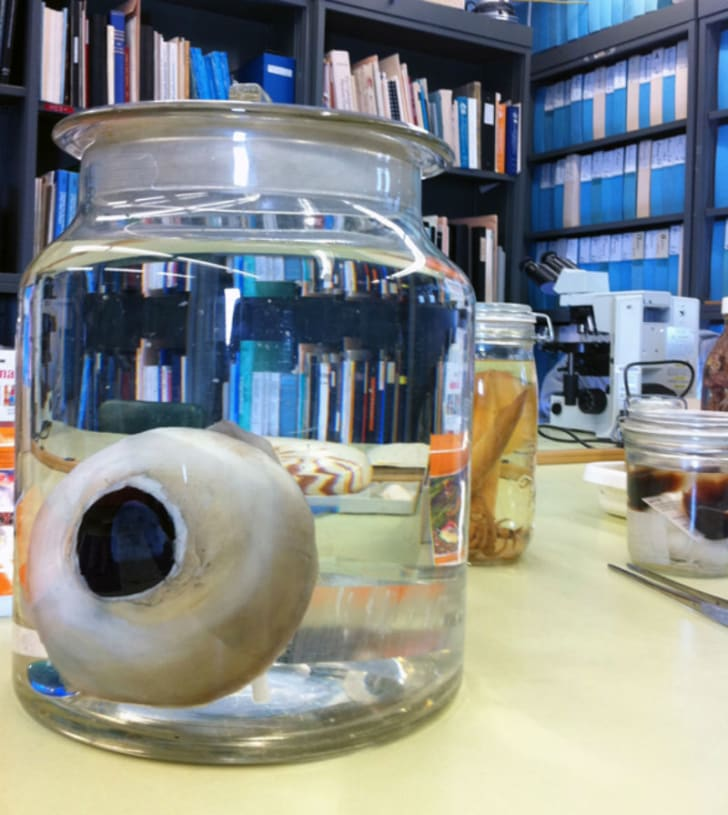 A giant squid eye rests in a jar on a desk