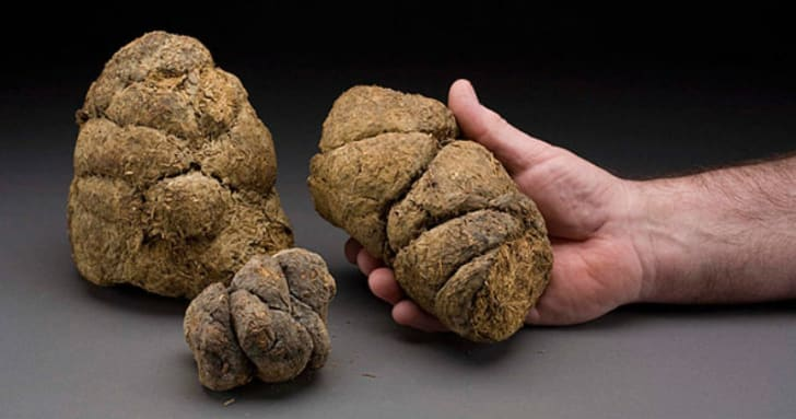 A man holds up a piece of giant sloth dung