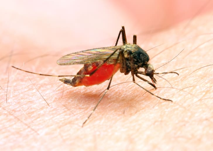 An Anopheles mosquito feeding on a person.