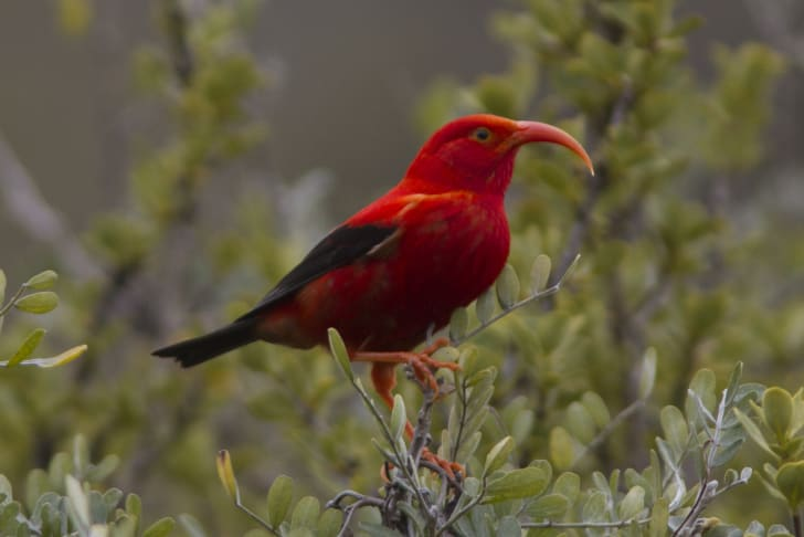 The Hawaiian honeycreeper is a red bird with a curved beak.