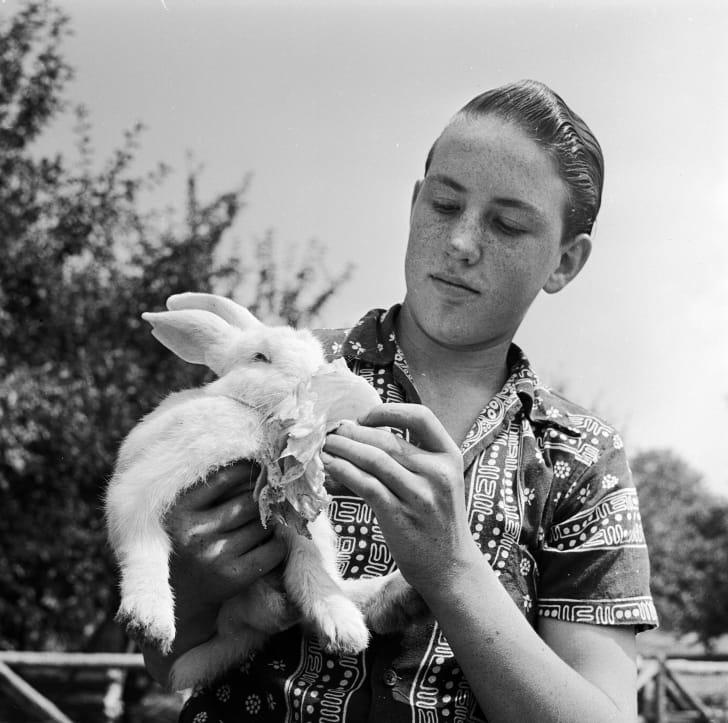 A boy feeds his pet rabbit a lettuce leaf, circa 1955.