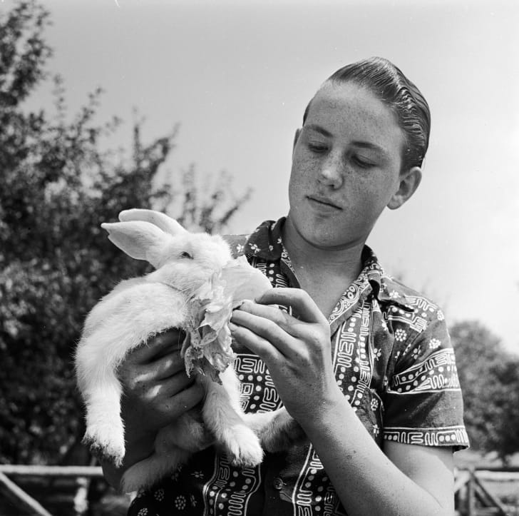 A boy feeds his pet rabbit a lettuce leaf, circa 1955.