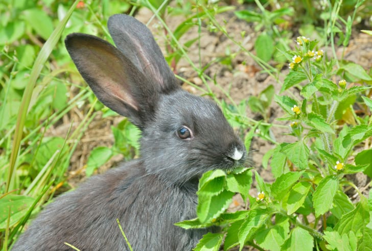 Rabbit chewing leaves.
