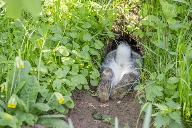 Rabbit butt sticking out of burrow.