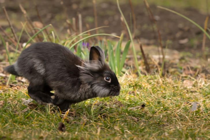 Rabbit running outdoors.