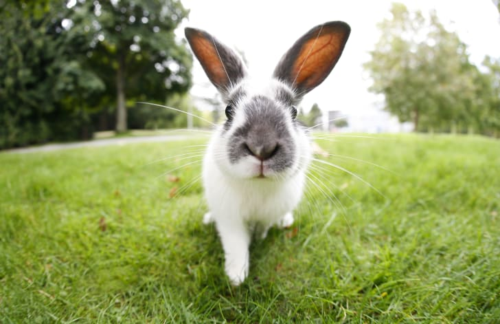 Rabbit walking toward camera.