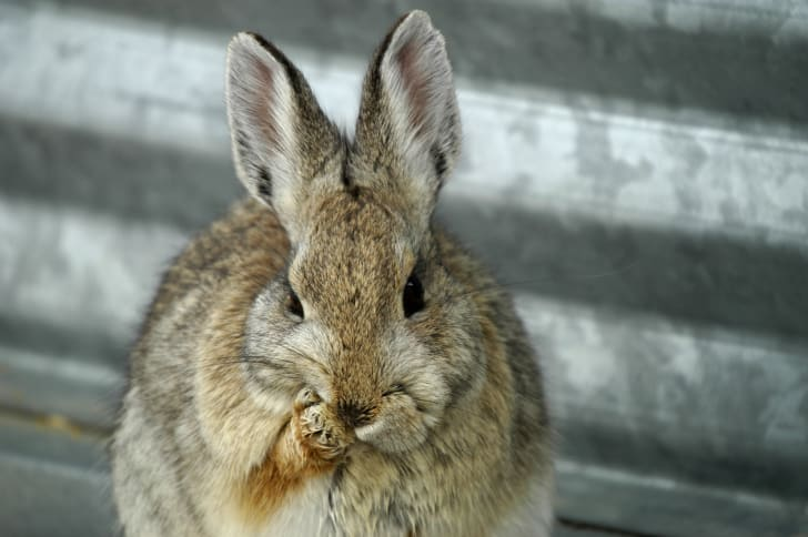 Rabbit grooming itself.