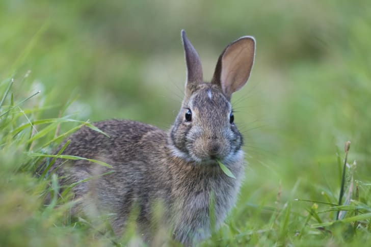 Rabbit eating grass in a field.