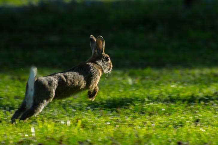 Rabbit hopping.