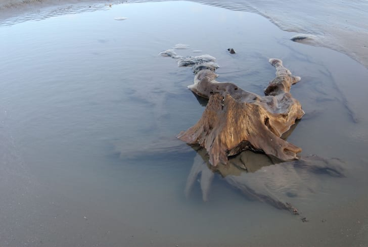A submerged forest in Wales