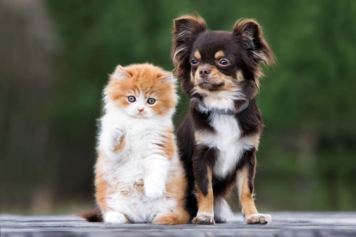 orange and white kitten sits next to brown and white puppy