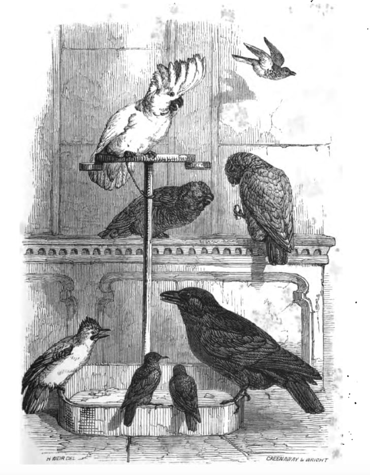"""A selection of Victorian bird pets from the book """"Domestic pets: their habits and management"""" by Jane Loudon"""