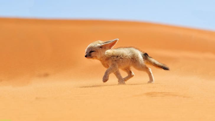 A fennec fox walking into the wind in the desert.