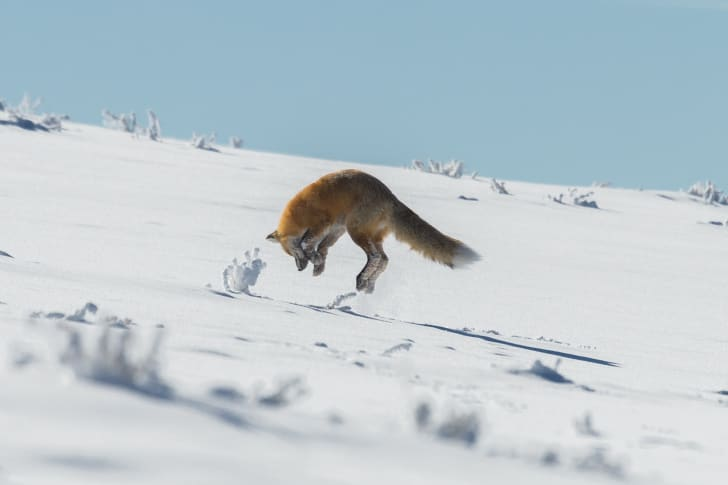 A fox pouncing on prey in the snow.
