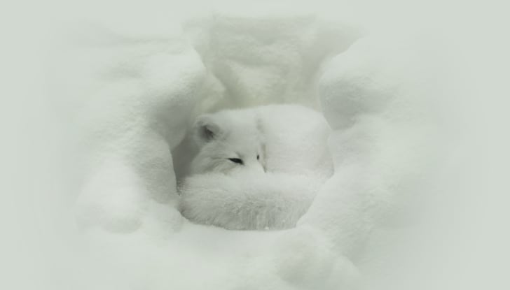 Arctic fox curled in a ball.
