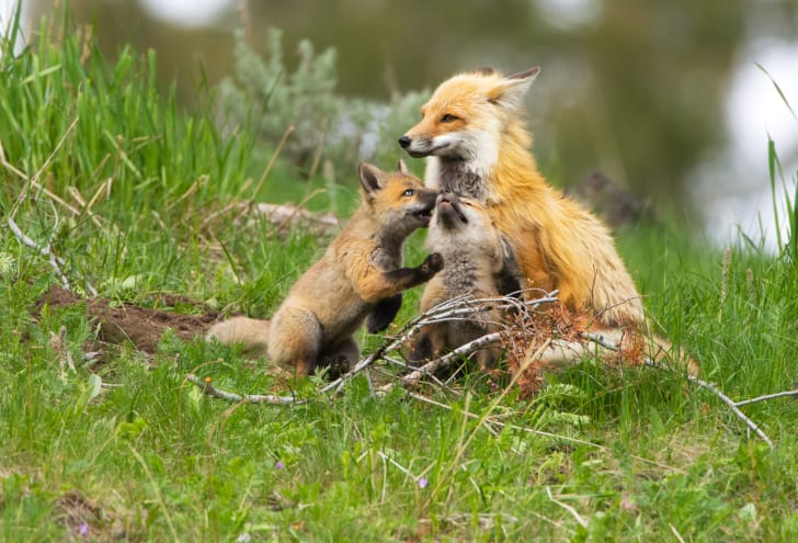 Fox parent with a couple of kits.