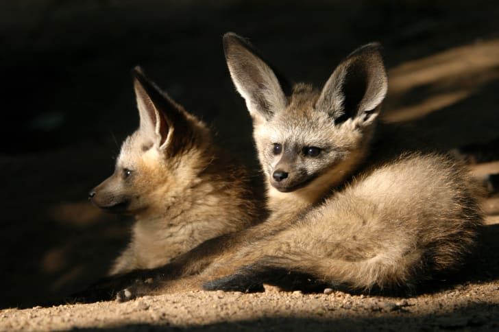 Two bat-eared foxes in a den.