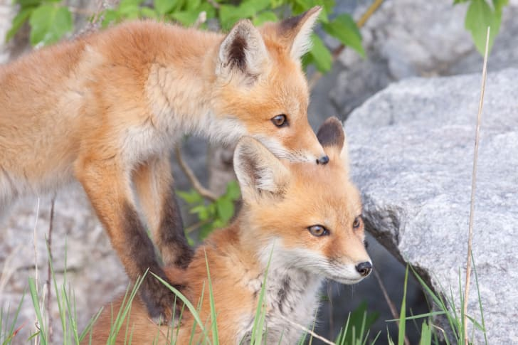 Two fox cubs playing with each other.