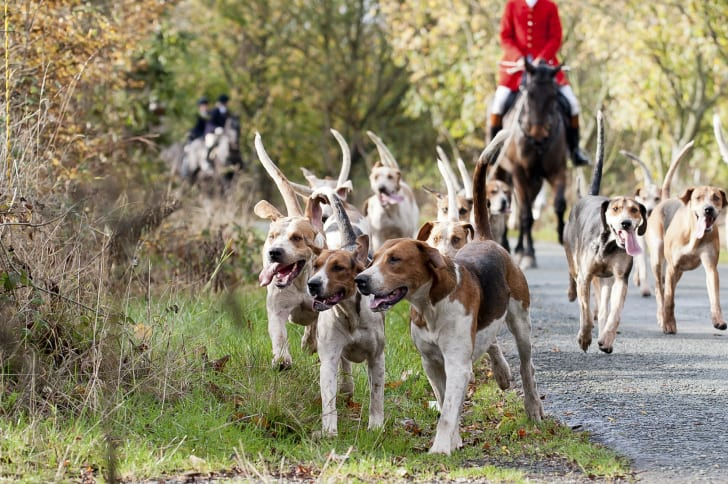 Dogs out on a fox hunt.