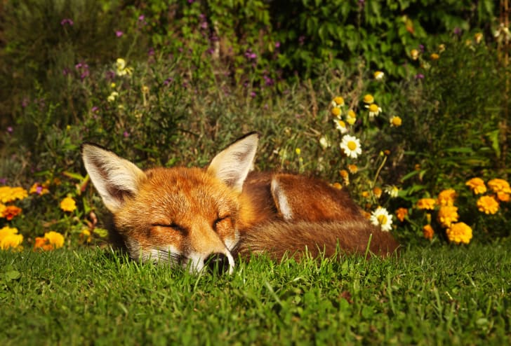 Fox sleeping in a garden.