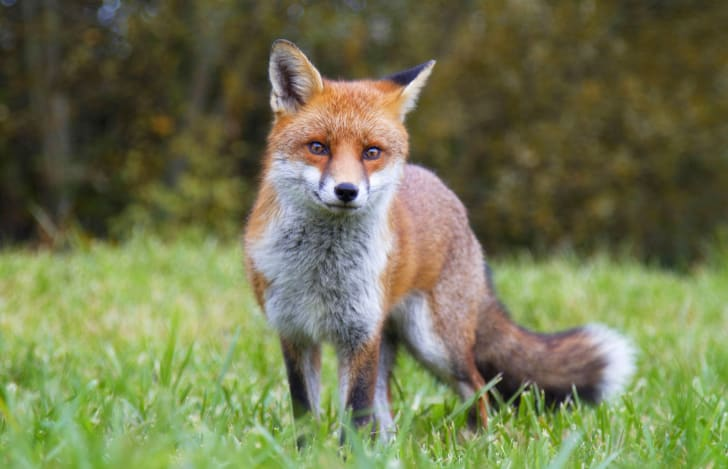 A fox standing in a field.