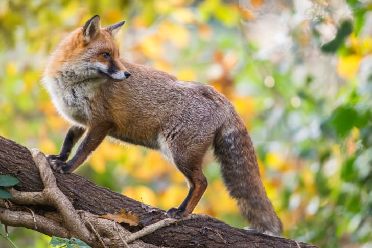 A fox perched on a long branch.