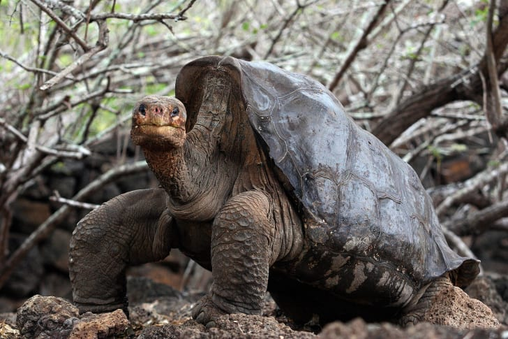 Lonesome George the Pinta Island tortoise.