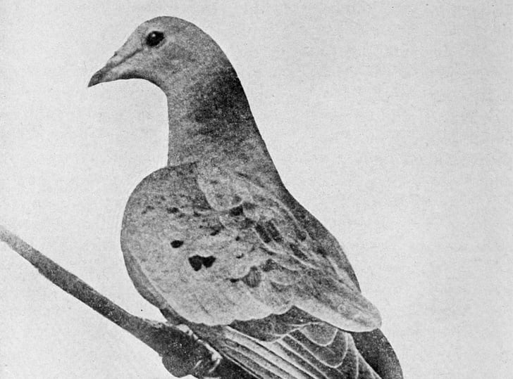Martha the passenger pigeon.