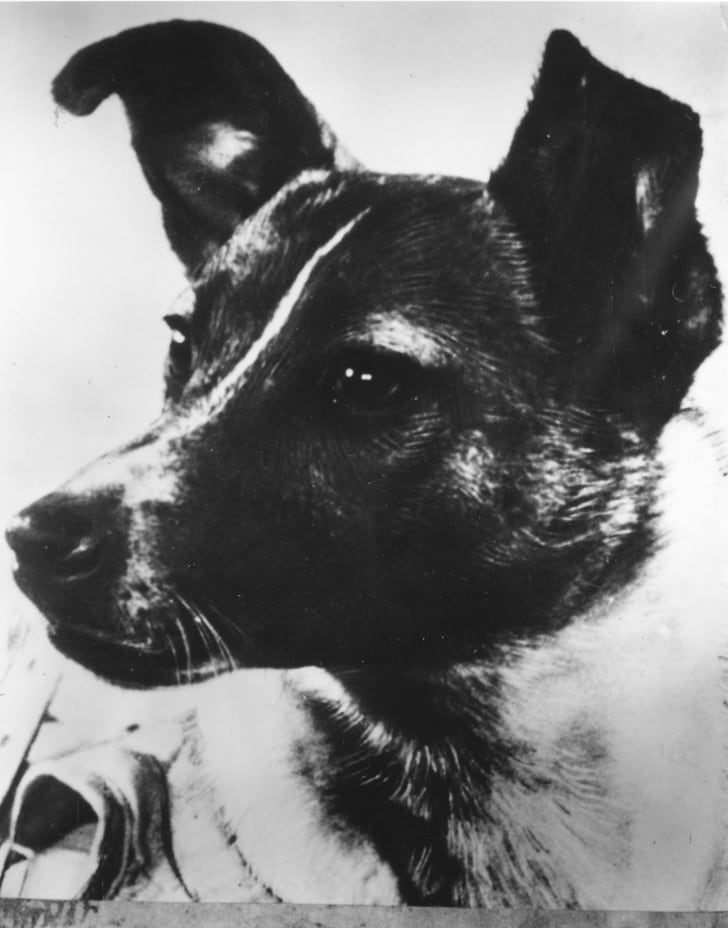 A close-up of Laika, the dog used to relay biomedical information in the Soviet 'Sputnik II' outer-space investigation programme
