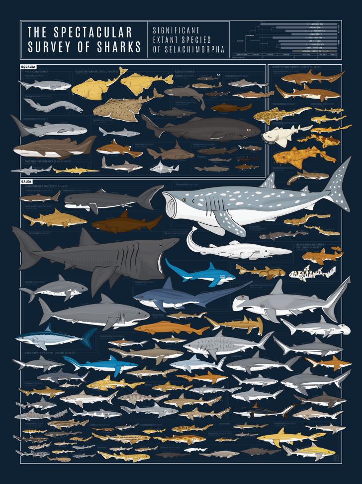 The shark chart