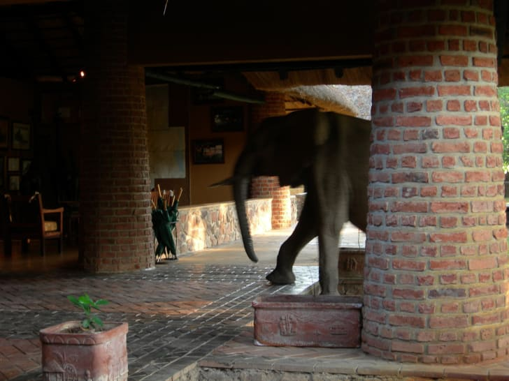 An elephant walks into the lobby of the Mfuwe Lodge in Zambia.