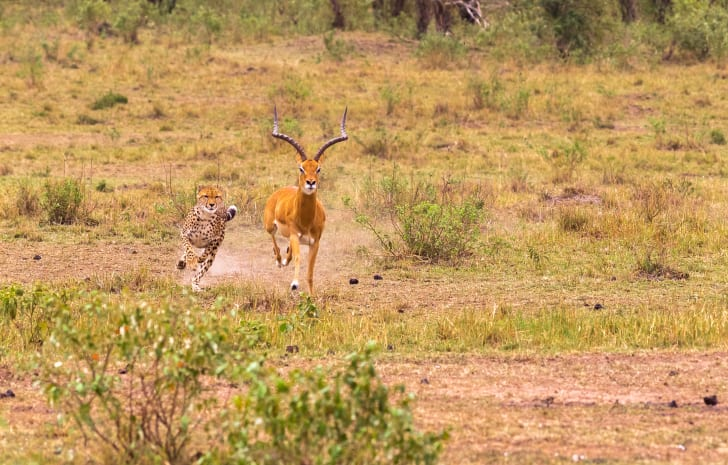 image of an impala running from a cheetah