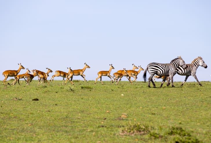 image of a herd of impalas running alongside some zebras
