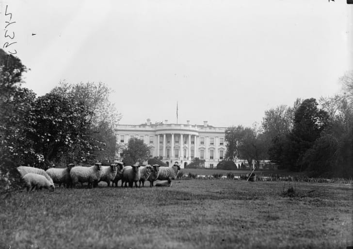 Sheep are seen grazing on the White House lawn