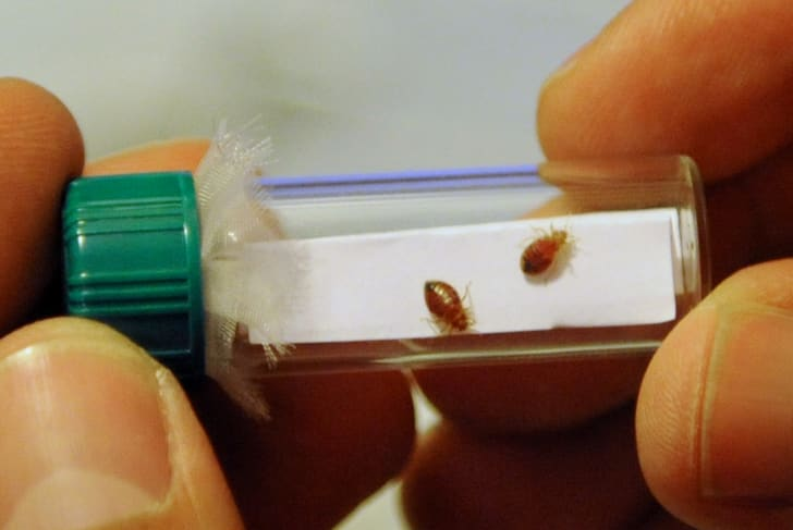 Someone holding a vial containing two bed bugs on a white piece of paper.