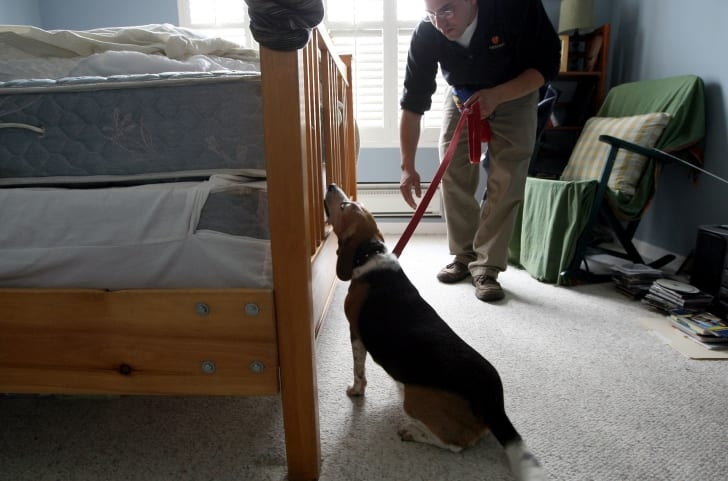 A man holds a leashed beagle that is sniffing a bed for bed bugs.