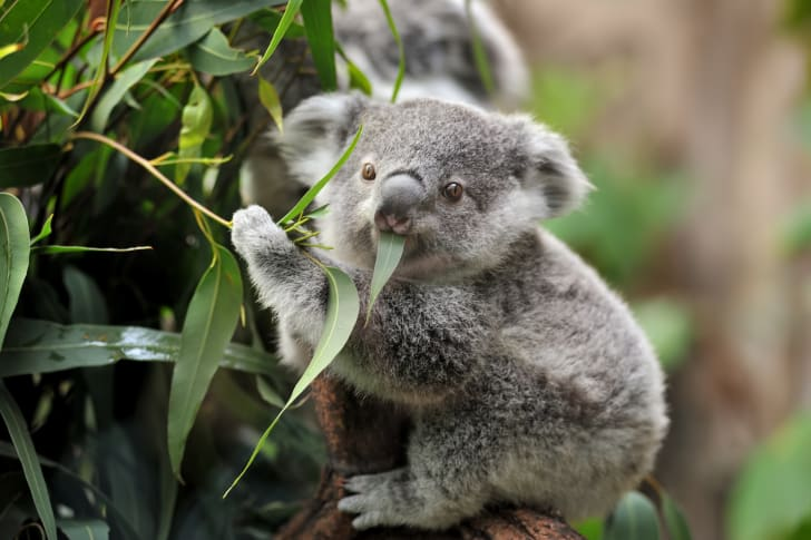 Young koala in a tree.