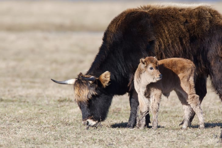 Heck cattle and calf.