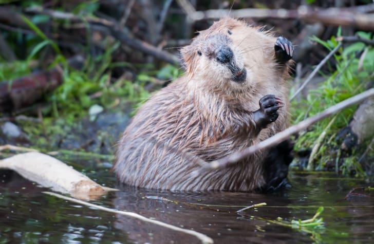 Beaver in water looking at camera.