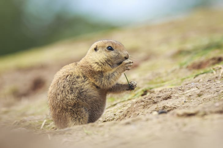 Prairie dog eating in a field.