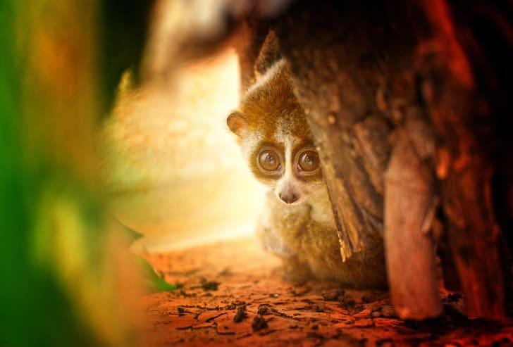 Slow loris hiding behind a tree.
