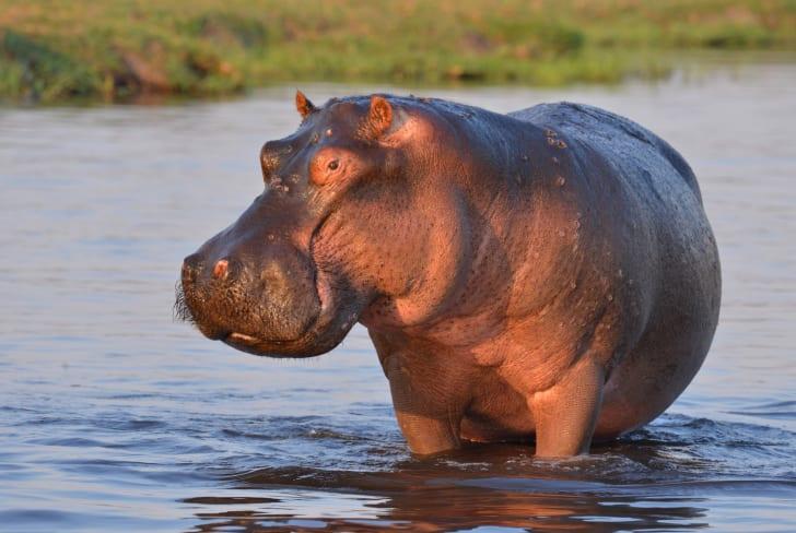 Hippopotamus standing in the water.