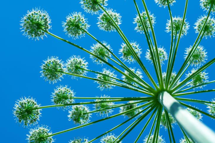 giant hogweed against blue sky