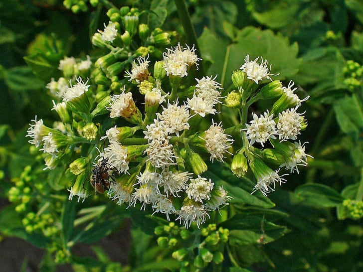 white snakeroot plant with flowers