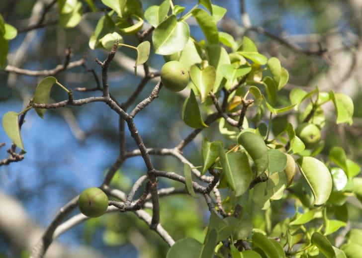 manchineel tree with fruit