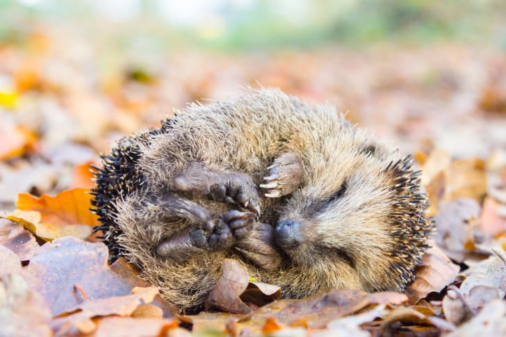 A hedgehog rolled up in a little ball on some leaves.